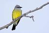 WesternKingbird-2015-004