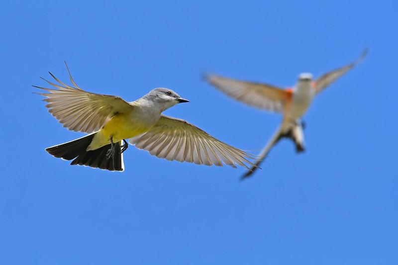 WesternKingbird&Scissor-TailedFlycatcher-Texas-6-20-18-SJS-001