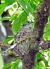 Blue-grayGnatcatcher-nest-MM-5-16-17-SJS-001