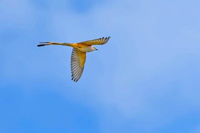 Scissor-tailedFlycatcher-OrangeCoFL-11-3-19-SJS-013