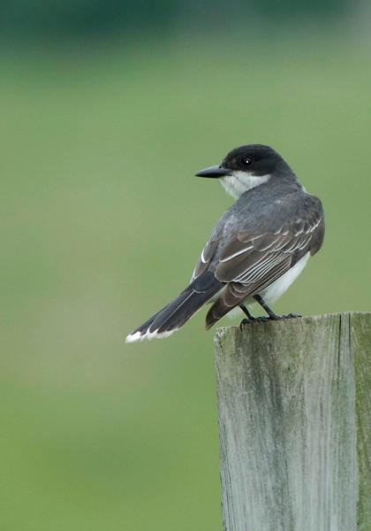 Kingbird-02