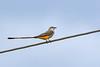 Scissor-tailedFlycatcher-OrangeCoFL-11-3-19-SJS-010