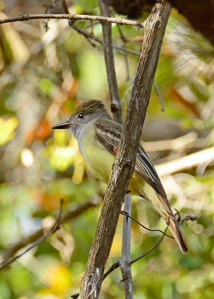 Great-CrestedFlycatcher-KissimmeePrairieFl-3-21-17-SJS-006