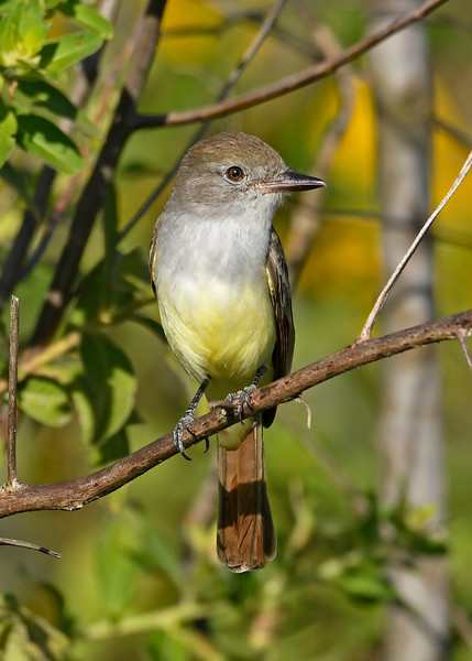 Great-CrestedFlycatcher-EmeraldaMarshFL-11-17-18-SJS-006