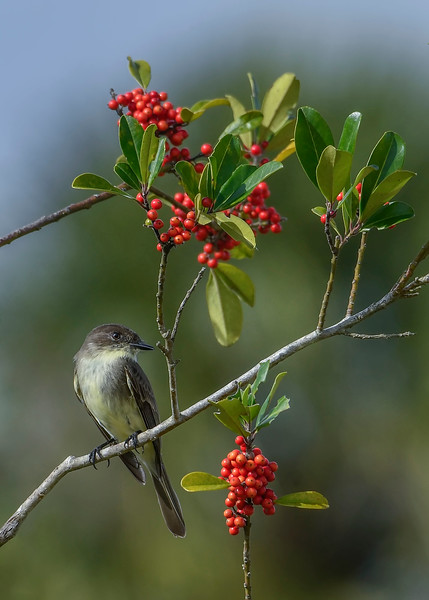 EasternPhoebe-PineMeadows-12-30-19-SJS-001