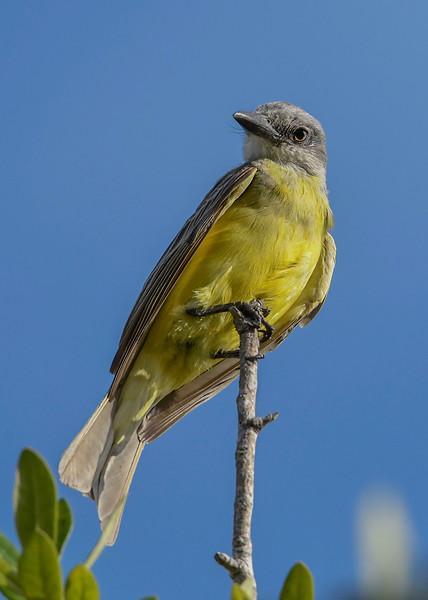 TropicalKingbird-SarasotaFL-7-10-20-SJS-02