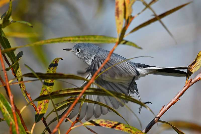 Blue-GrayGnatcatchers-LAWD-11-16-18-SJS-007