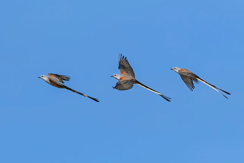 Scissor-tailedFlycatcher-OrangeCoFL-11-5-19-SJS-024