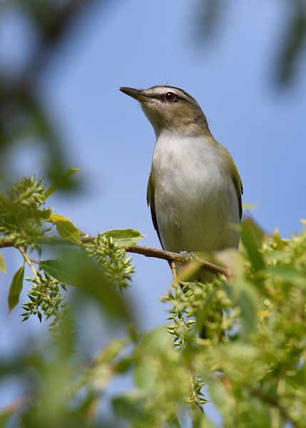 Red-eyedVireo-MM-5-16-17-SJS-002