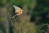 Scissor-tailedFlycatcher-OrangeCoFL-11-3-19-SJS-008