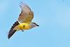 WesternKingbird-Texas-6-20-18-SJS-007