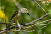WhiteEyedVireo-EmeraldaMarsh-4-6-20-SJS-001