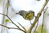 Blue-HeadedVireo-LakeMayFL-3-2-19-SJS-002