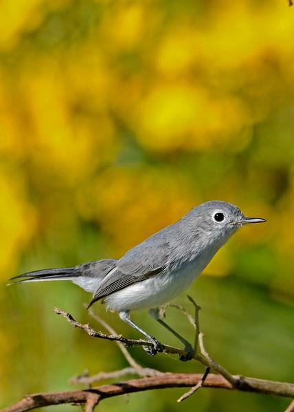 Blue-GrayGnatcatcher-LAWD-12-7-2018-SJS-004