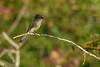 EasternPhoebe-OcalaNationalForest-11-7-19-SJS-001