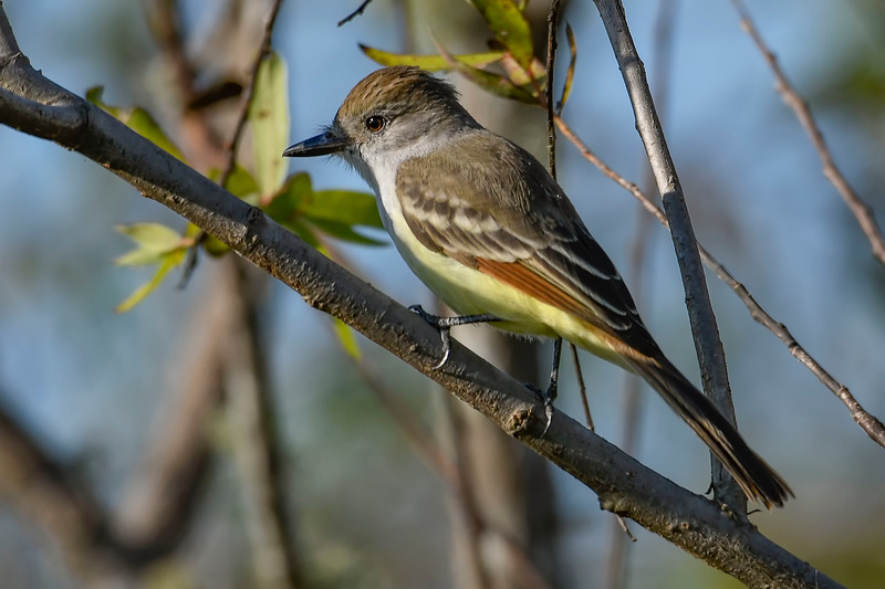 Great-CrestedFlycatcher-EmeraldaMarshFL-11-17-18-SJS-008