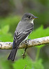 EasternWood-Pewee-MM-5-17-17-SJS-002