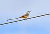 Scissor-tailedFlycatcher-OrangeCoFL-11-3-19-SJS-012