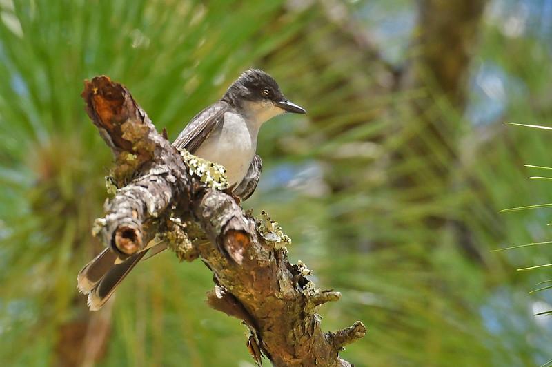 EasternKingbird-OcalaNF-9-1-18-SJS-001