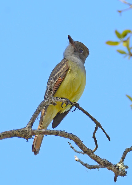 Great-CrestedFlycatcher-KissimmeePrairieFl-3-21-17-SJS-003
