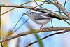 Blue-GrayGnatcatcher-LAWD-9-14-18-SJS-004
