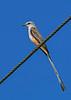 Scissor-tailedFlycatcher-OrangeCoFL-11-5-19-SJS-022