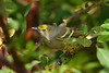 WhiteEyedVireo-EmeraldaMarsh-10-30-19-SJS-001