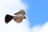 WesternKingbird-Texas-6-20-18-SJS-008