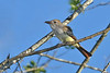 AshThroatedFlycatcher-EmeraldaMarsh-10-31-19-SJS-001