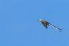 Scissor-tailedFlycatcher-OrangeCoFL-11-5-19-SJS-019