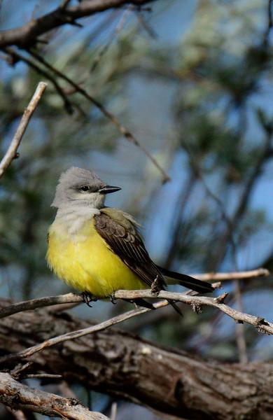 WesternKingbird-2015-007