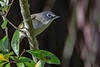 BlueHeadedVireo-EmeraldaMarsh-11-27-19-SJS-002