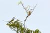 WesternKingbirdScissorTailedFlycatcher-KeeneRoadFL-12-12-20-sjs-001