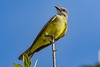 TropicalKingbird-SarasotaFL-7-10-20-SJS-01