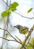 Blue-HeadedVireo-LakeMayFL-3-2-19-SJS-003
