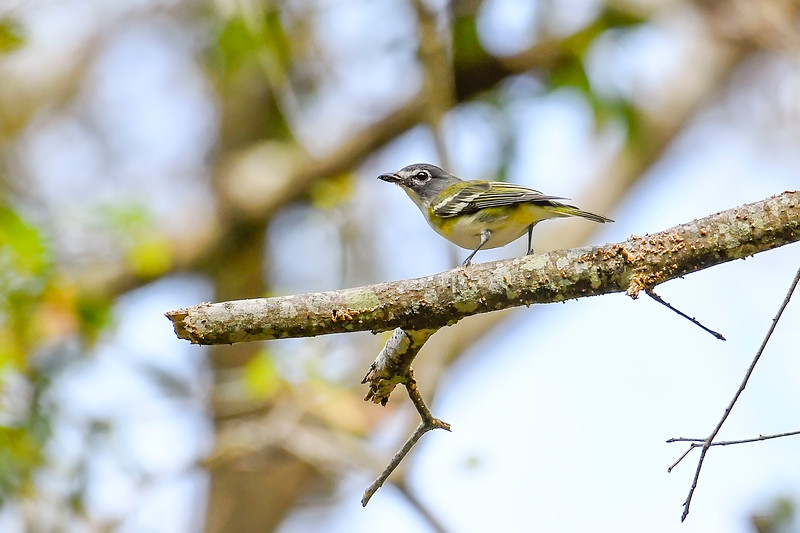 Blue-HeadedVireo-LakeMayFL-3-2-19-SJS-005