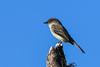 EasternPhoebe-PineMeadowsCA-12-28-20-sjs-001