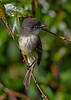 EasternPhoebe-EmeraldaMarsh-11-27-19-SJS-003