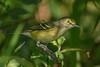 WhiteEyedVireo-EmeraldaMarsh-10-11-19-SJS-001