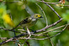 WhiteEyedVireo-EmeraldaMarsh-4-6-20-SJS-003