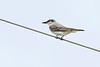 GrayKingbird-LakeYale-4-9-20-SJS-002