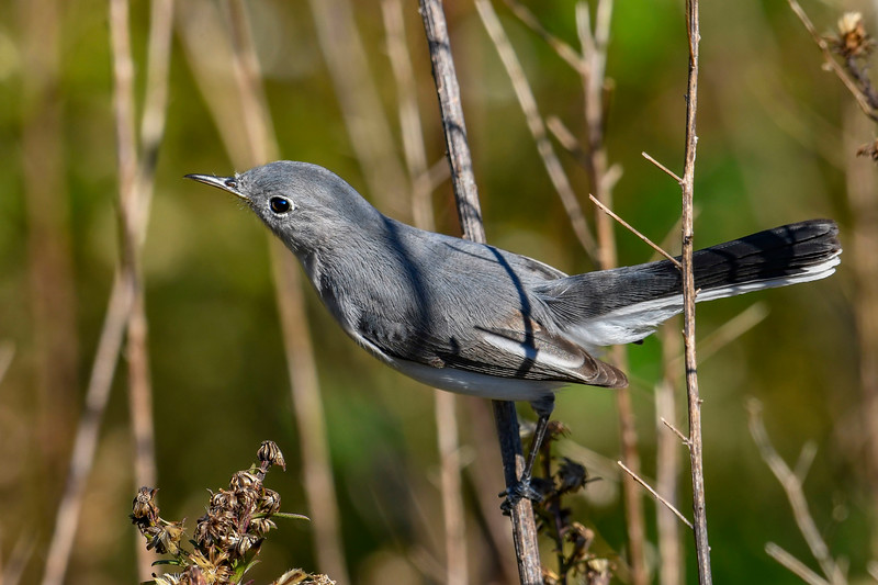 Blue-GrayGnatcatcher-LAWD-1-6-19-SJS-001
