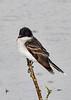 EasternKingbird-MageeMarsh-5-13-19-SJS-002