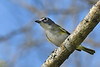 BlueHeadedVireo-EmeraldaMarsh-11-2-19-SJS-001
