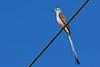 Scissor-tailedFlycatcher-OrangeCoFL-11-5-19-SJS-018