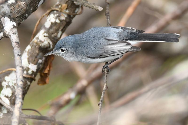 Blue-GrayGnatcatcher-LAWD-2-9-18-SJS-002