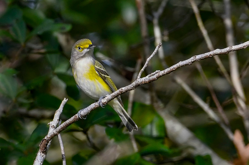 WhiteEyedVireo-EmeraldaMarsh-11-27-19-SJS-001