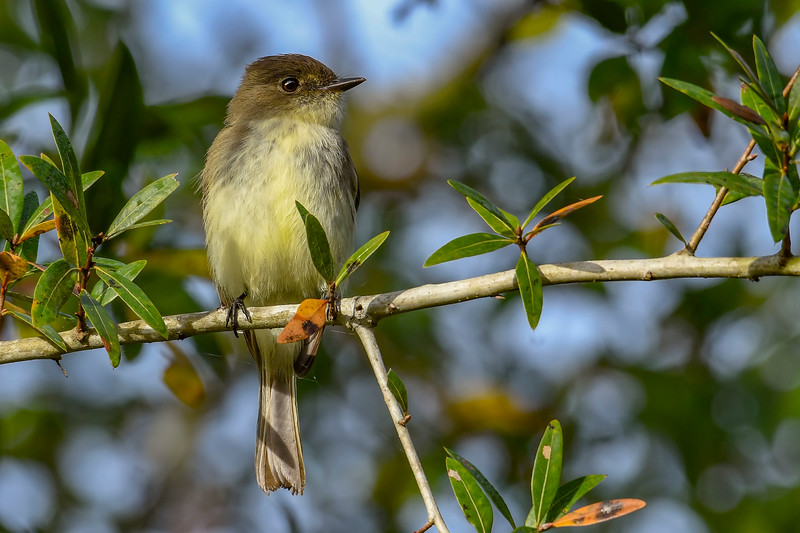 EasternPhoebe-EmeraldaMarsh-11-27-19-SJS-004