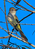 AshThroatedFlycatcher-EmeraldaMarsh-10-30-19-SJS-003