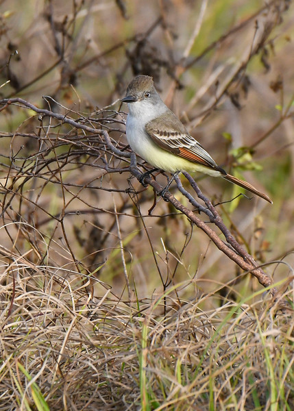 Ash-ThroatedFlycatcher-LAWD-1-13-18-SJS-006